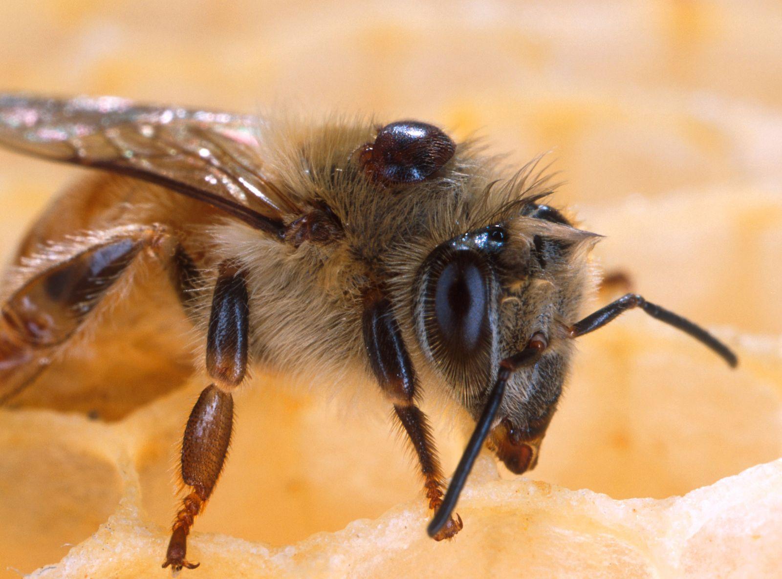 Biene / Parasit / Varroa Milbe