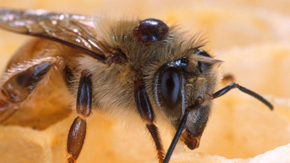 Biene mit Varroa-Milbe: Auch in Deutschland schwere Schäden