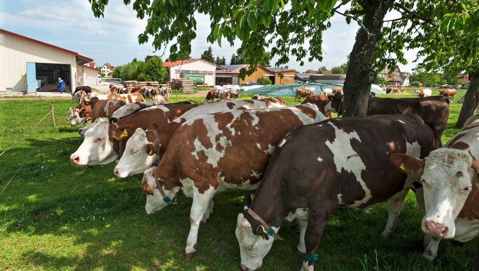 """Kühe in Bayern: Es gibt keine """"Zertifizierung gegen Rechtsaußen"""""""