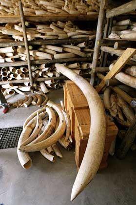 Elefanten-Stoßzähne: Der Handel mit Elfenbein nimmt trotz des internationalen Verbots ständig zu