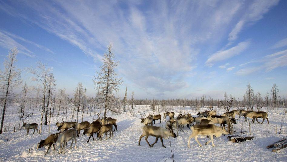 """Rentiere in der russischen Arktis (2008): """"Das Potential wird ausgebaut"""""""