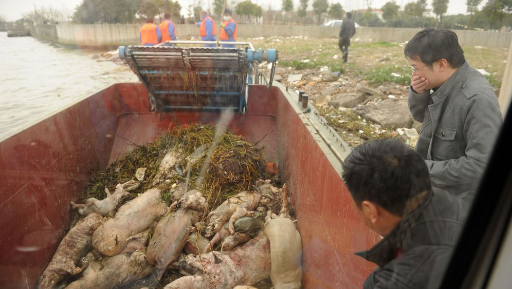 Lebensmittelskandal: Tote Schweine im Fluss