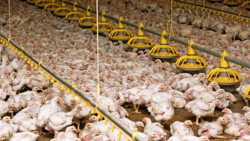 Hühner im Mastbetrieb: Fleischbeschauzeiten von 1,5 Sekunden pro Tier