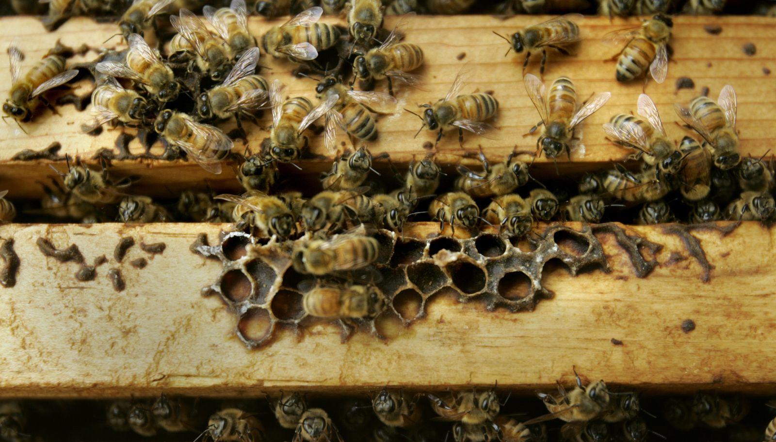 Honigbienen Bienen