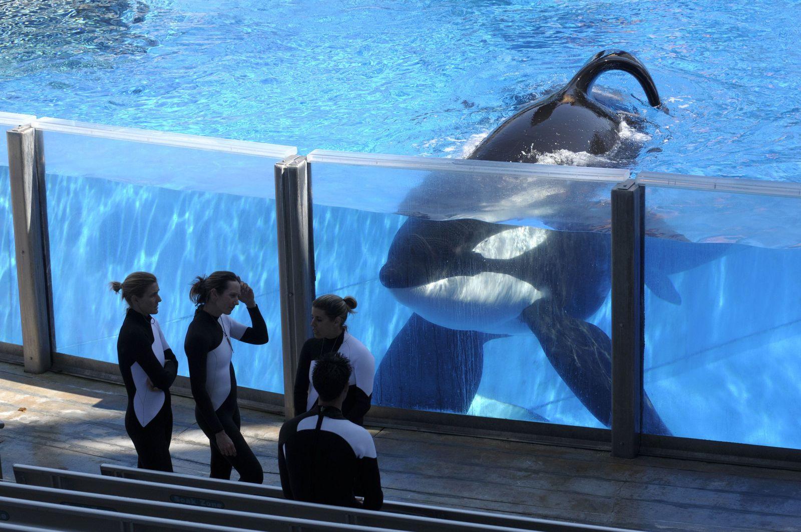 Orca Schwertwale SeaWorld Orlando