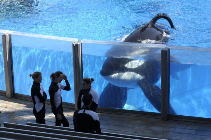 Orca Tilikum im SeaWorld-Park in Orlando