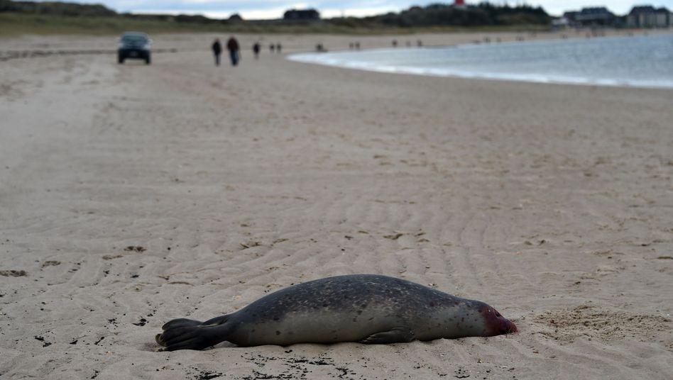 Trauriges Strandgut: Ein toter Seehund liegt am 16.10.2014 am Strand von Hörnum (Schleswig-Holstein) auf Sylt