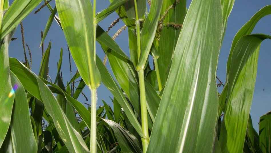 Mais gehört zu den Süßgräsern