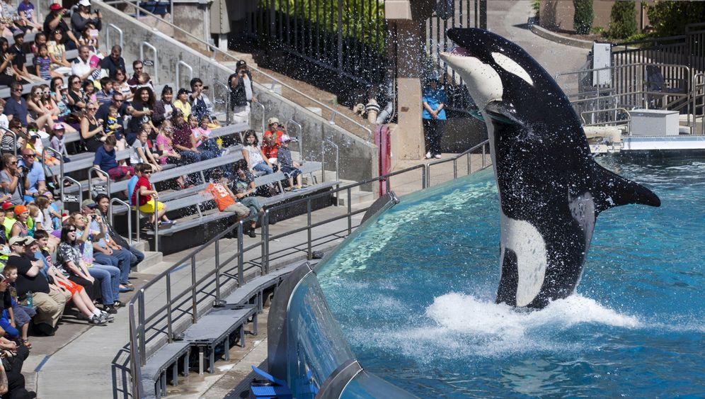 Seaworld in den USA: Orcas in Gefangenschaft