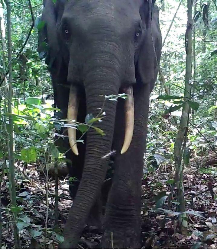 Waldelefant aus der Nähe