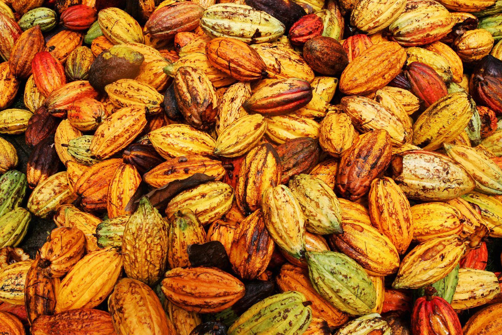 Kakao / cocoa plantation
