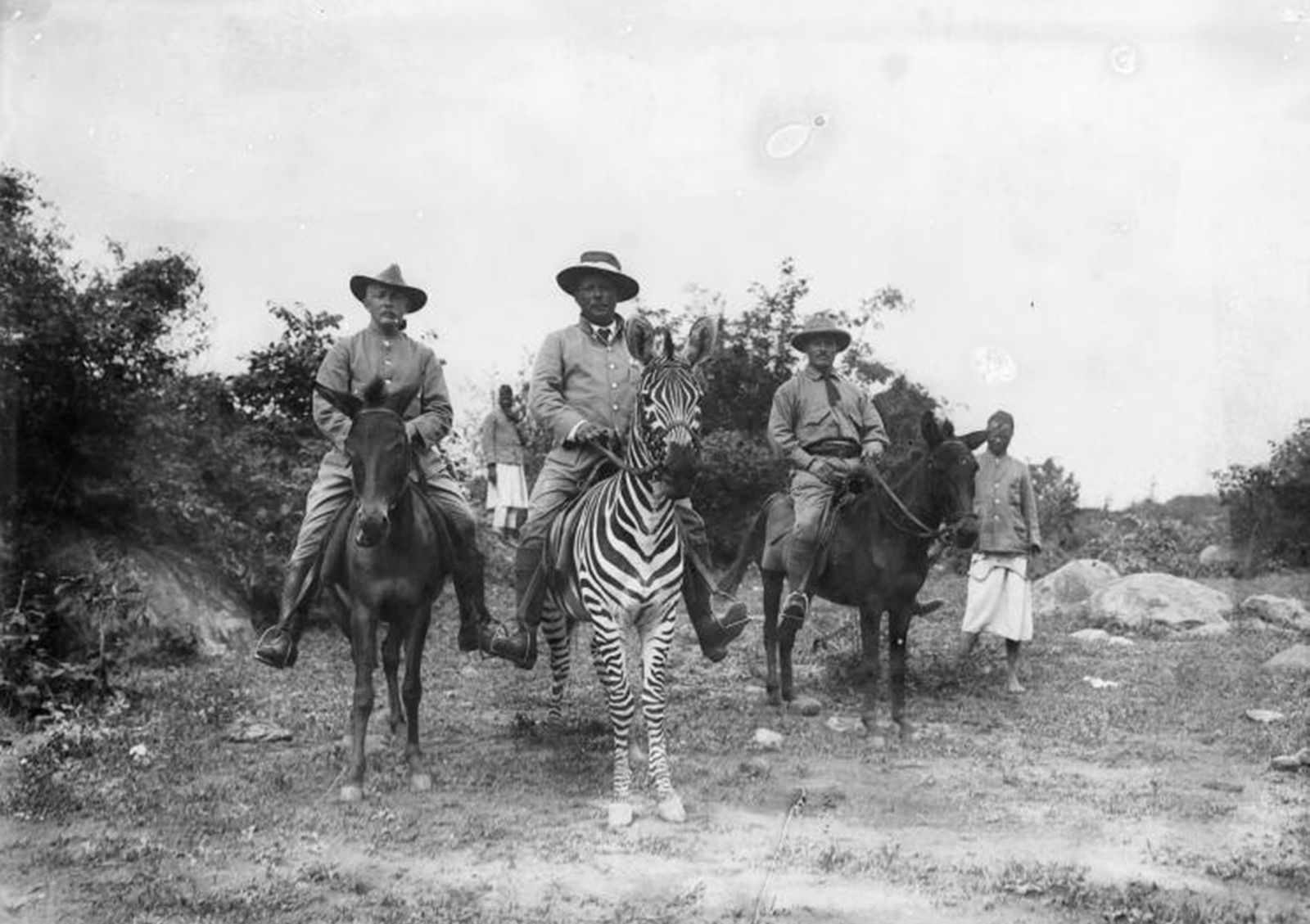 Zebra und Maulesel