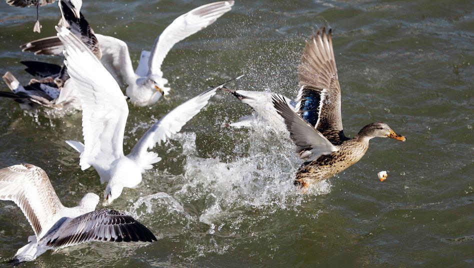 Möwen jagen Enten: Fall von Kleptoparasitismus