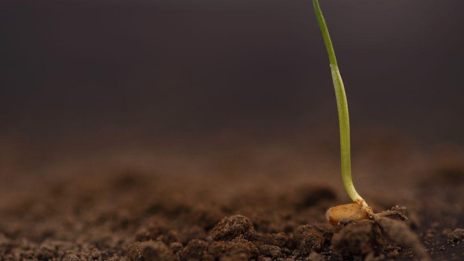 """Weizen-Sprössling: """"Man muss mit sieben bis zehn Jahren rechnen, bis eine neue Sorte in den Handel kommt"""""""
