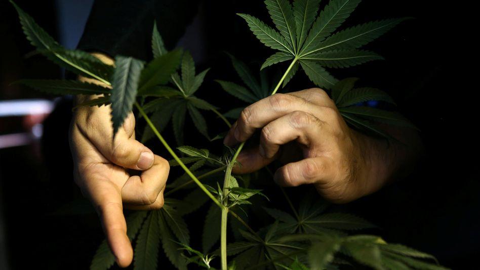 Cannabis-Anbau zuhause (Aufnahme aus Chile)