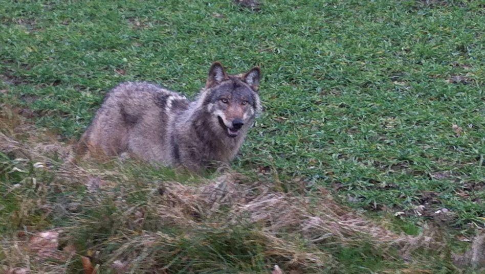 Wolf in Drantum (Niedersachsen) am 3. März: Unterwegs in den Nachbarort