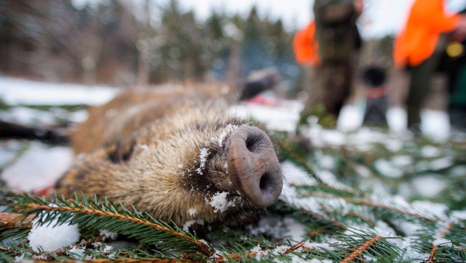 Erlegtes Wildschwein: Belastete Leckereien