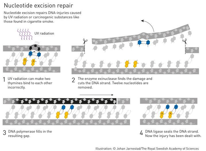 UV-Strahlung kann beispielsweise dazu führen, dass sich fälschlicherweise zwei Thyminbasen verbinden. Ein Enzym ist speziell dazu da, diesen Fehler zu finden und die fehlerhafte Information aus der DNA herauszuschneiden. Die Zelle füllt die Lücke schließlich mit den korrekten Informationen.
