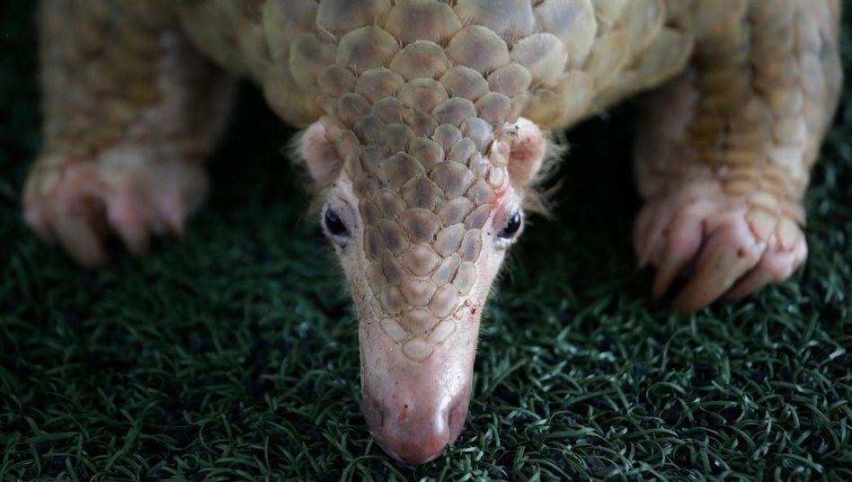 Pangoline zählen weltweit zu den meistgeschmuggelten Tierarten (Archivbild aus dem Jahr 2017, als 136 Pangoline auf einem Markt in Thailand entdeckt wurden)