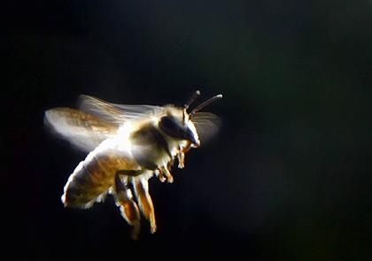 Is the mysterous decimation of bee populations in the US and Germany a result of GM crops?