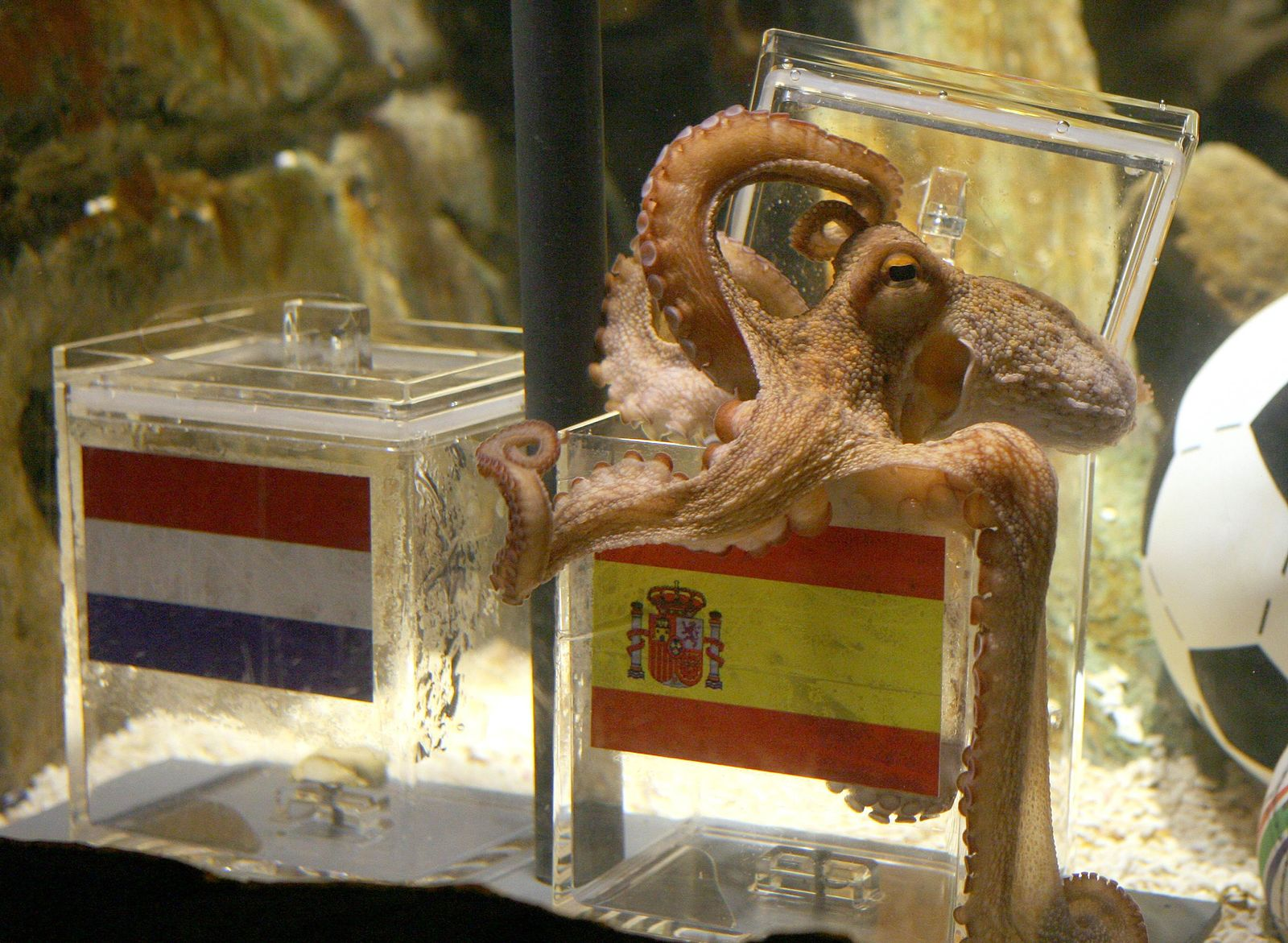 GERMANY-ANIMAL-FBL-WC2010-ESP-NED-OCTOPUS-OFFBEAT