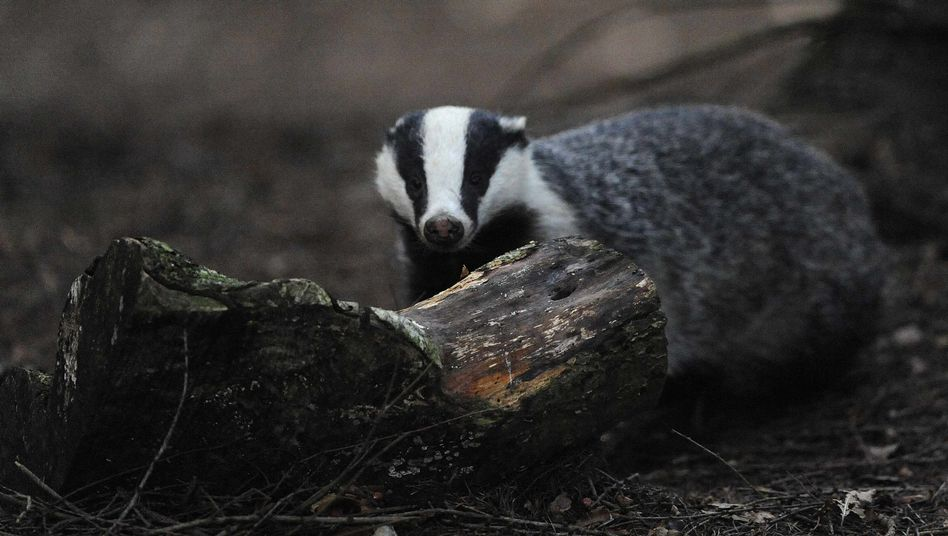A badger resembling this one has won praise from German archaeologists.