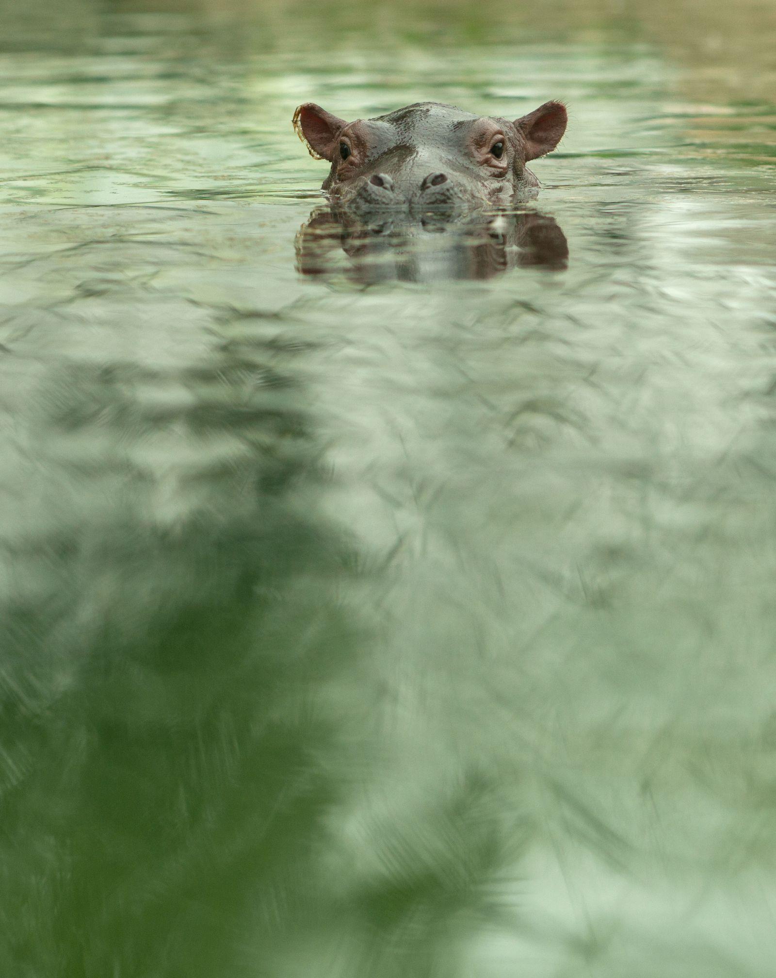 Flusspferde im Zoo Berlin