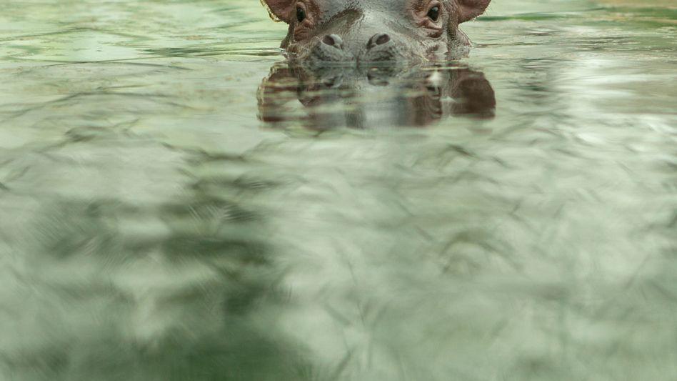 Nilpferd im Zoo Berlin (Archivbild)