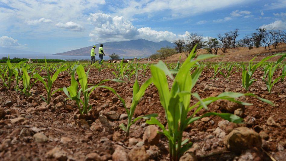 Monsanto-Maisfeld auf Hawaii