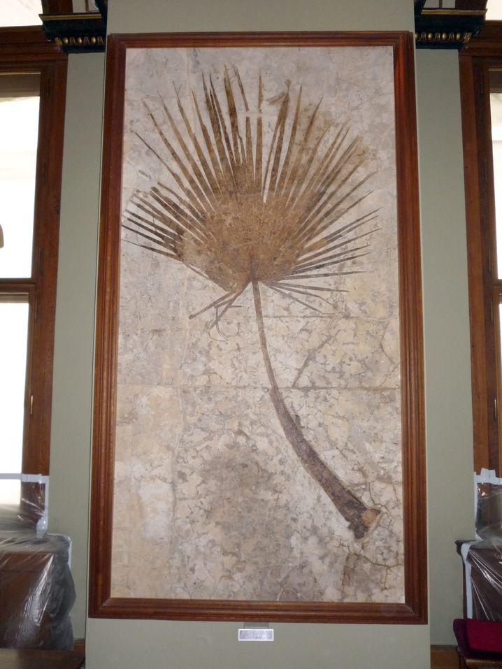 Naturhistorisches Museum Wien: Fossiles Palmblatt
