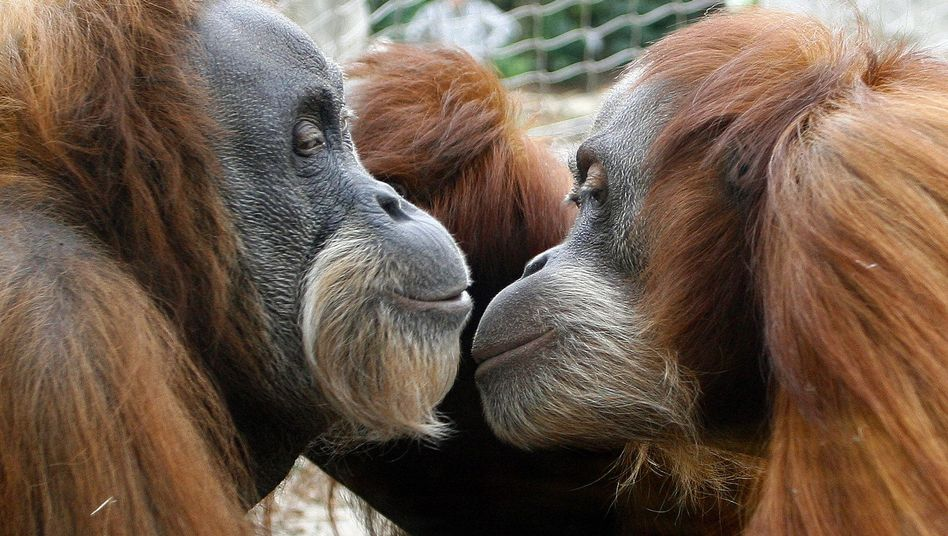 Kreationisten glauben nicht, dass Orang-Utan und Mensch gemeinsame Vorfahren haben