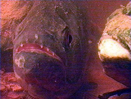 Im Dutzend gefährlicher: Im kollektiven Blutrausch fressen Piranhas ihr Opfer binnen weniger Minuten bis auf das Skelett ab