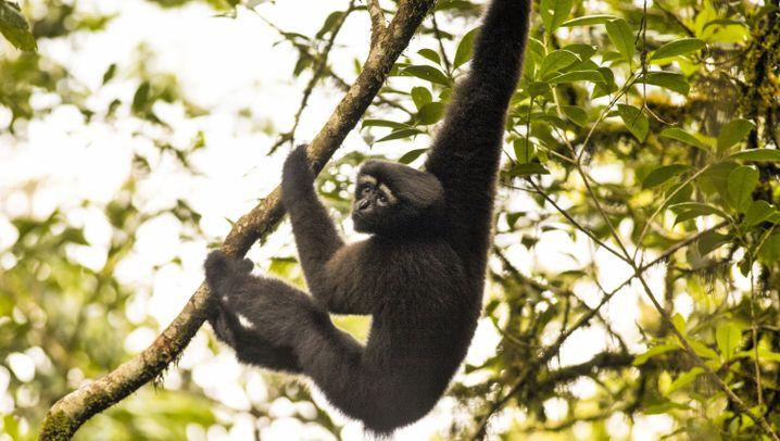 Neue Arten im Mekong: NSYNC-Fledermaus und Skywalker-Gibbon