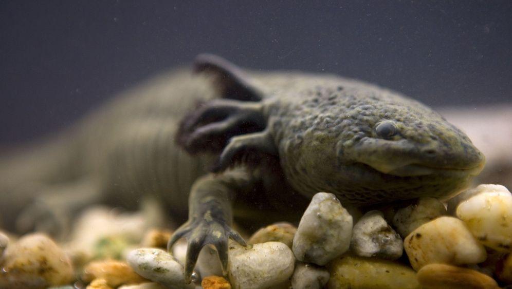 Axolotl: Die Wunderheiler