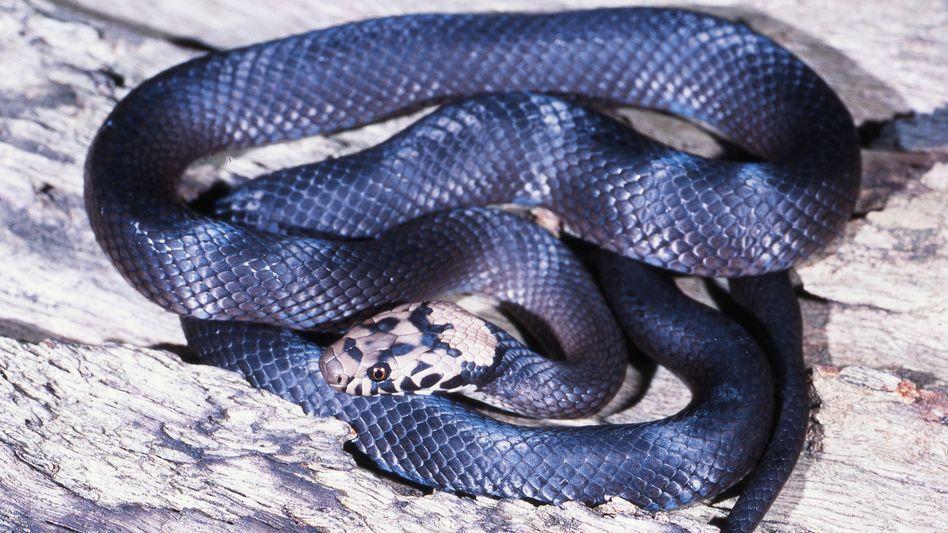 Pale-headed Snake: Normalerweise ist die Schlange im australischen Wald zu finden