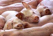 Fleischlieferant Schwein: Gesünder mit Spinat-Gen?