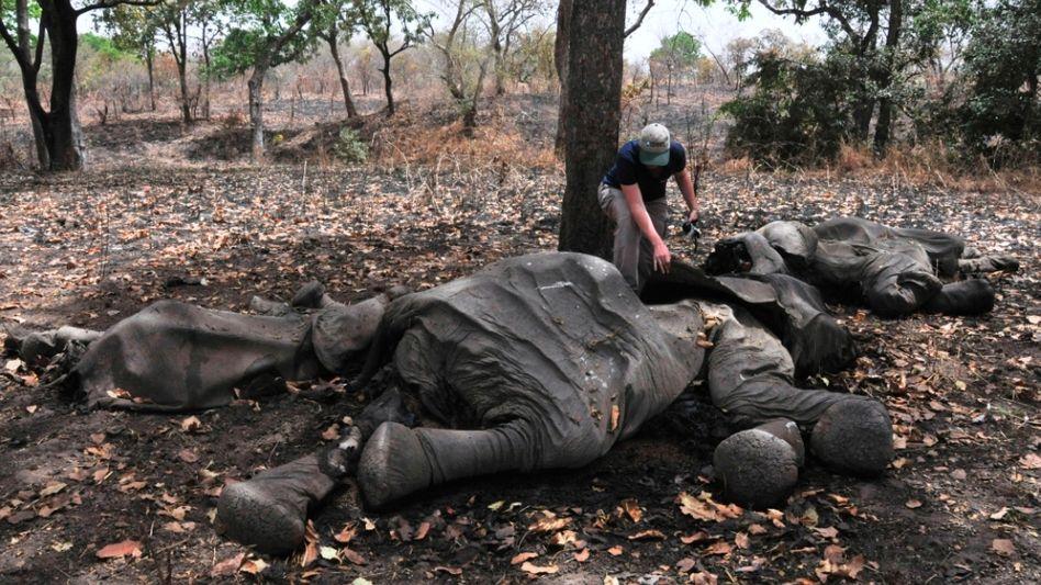 Getötete Elefanten in Kamerun: Boomender Handel mit illegalen Tierprodukten