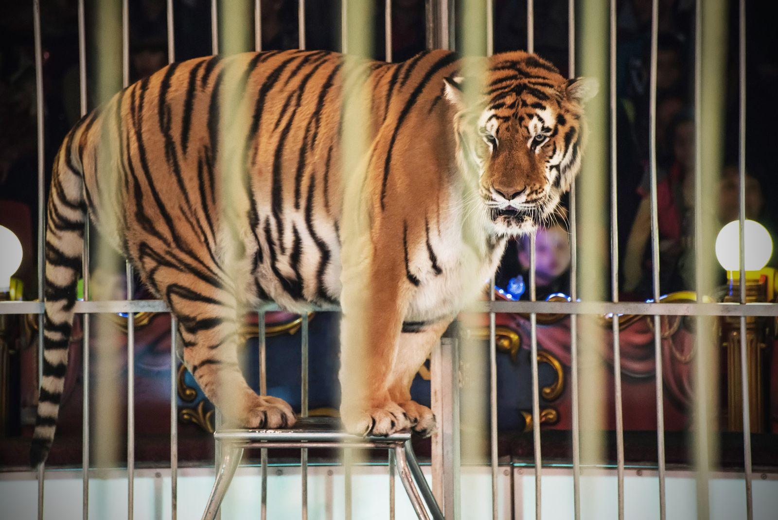 EINMALIGE VERWENDUNG Tiger/ Zirkus
