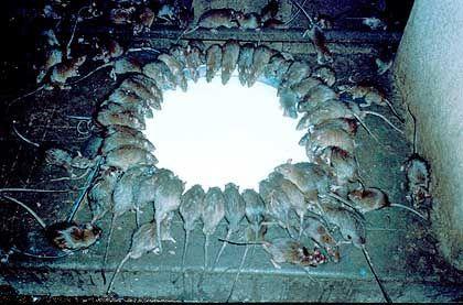 Rattentempel im indischen Rajasthan: Im hinduistischen Tempel werden Ratten als Reinkarnationen von Geschichtenerzählern verehrt, täglich von Mönchen mit Zuckerbällchen und Milch gefüttert. Betreten darf man den Tempel nur barfuß - eine Nervenprobe für Besucher.