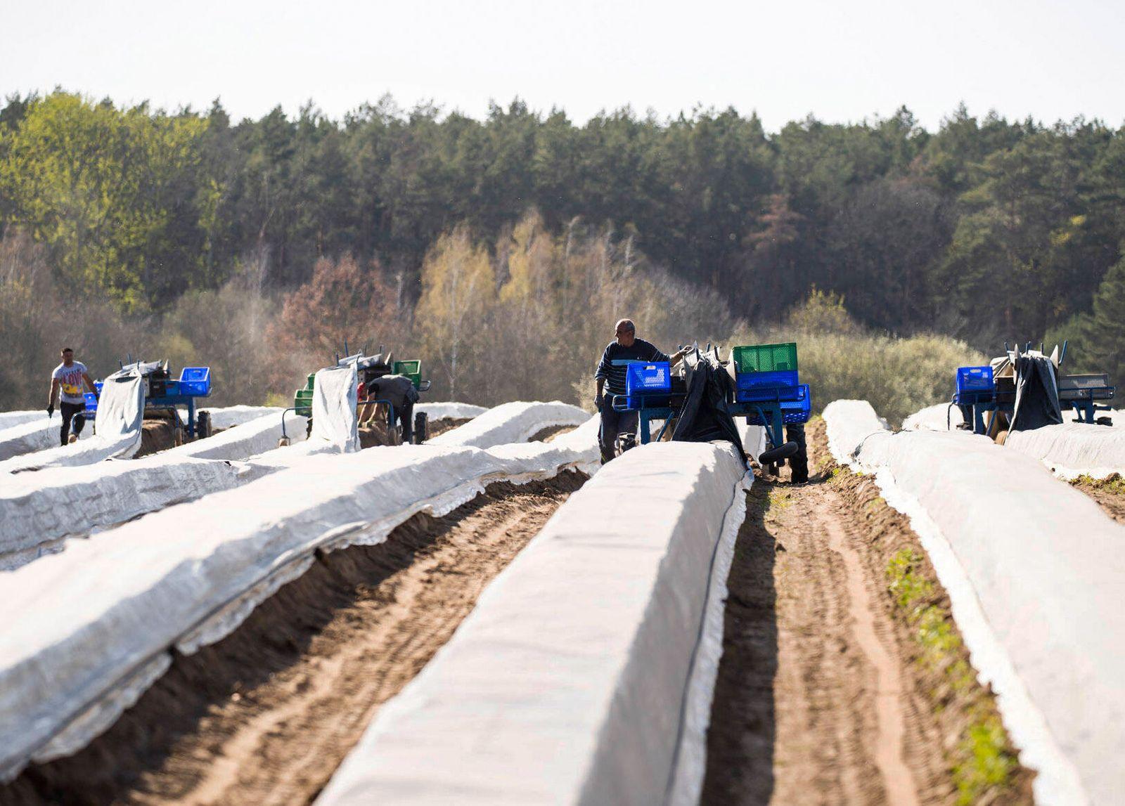 Erntehelfer aus Rumaenien stechen Spargel in den Feldern von Jakobs in Beelitz, Brandenburg am 11. April 2020. Spargeler
