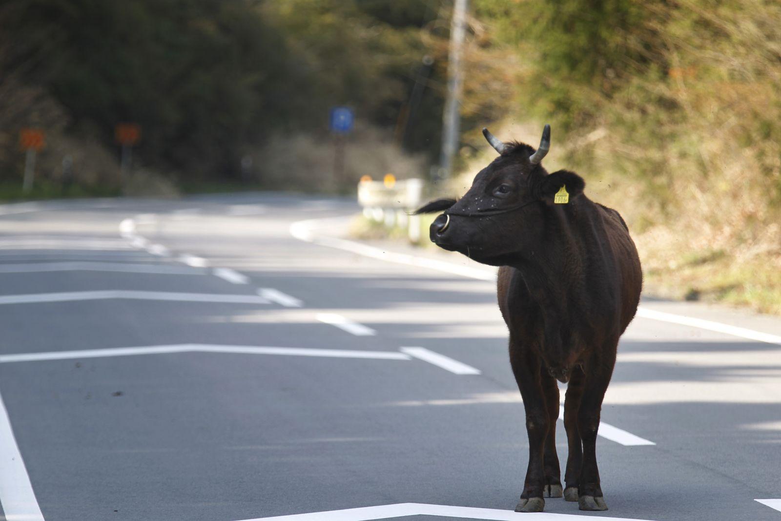 Erdbeben Japan Kühe