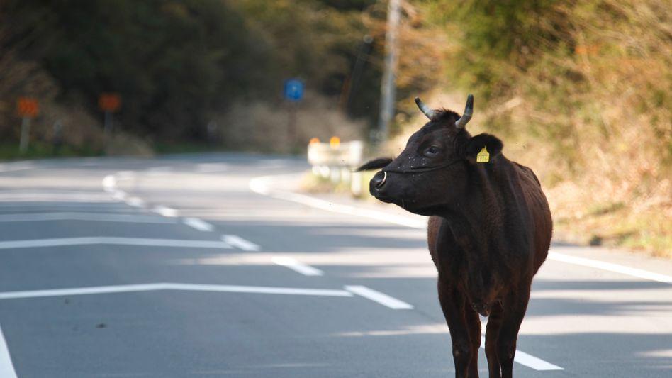 Eine Kuh steht in der evakuierten Stadt Okuma auf der Straße (Archivbild vom 15. April)