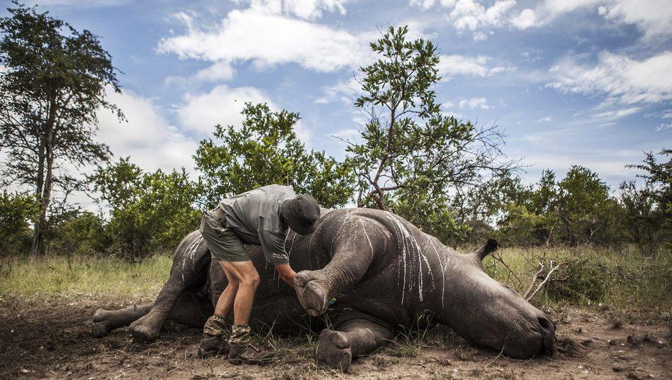 Von Wilderern getötetes Nashorn in Südafrika (Archivbild)