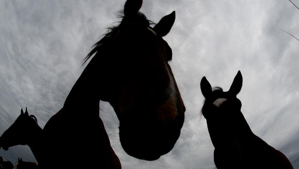 Pferde-Kommunikation: Das Ohr weist den Weg