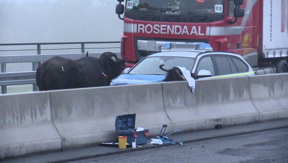 Verkehr blockiert: Wasserbüffel auf der Autobahn