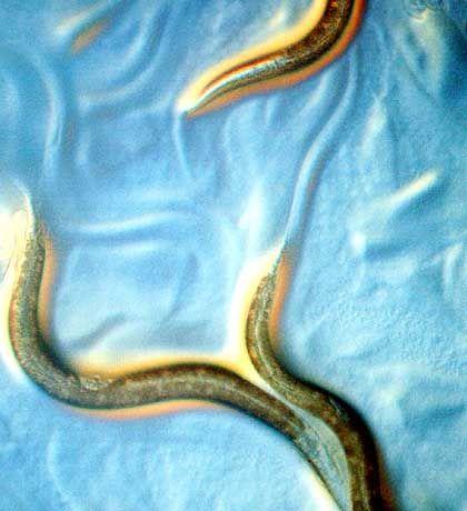 Wurm: Nur eine Frage der Zeit, bis sich wieder ein tückischer Parasit durch die Eingeweide des Webs schlängelt