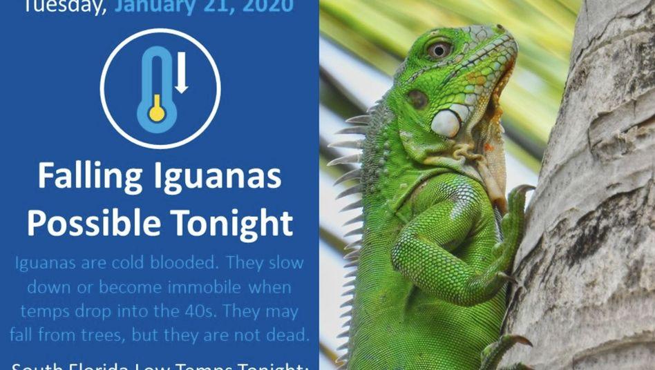 Amtliche Warnung: In Florida kann es Leguane regnen