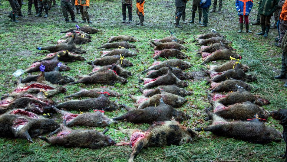 Über vierzig erlegte Wildschweine nach einer Treibjagd in Mecklenburg-Vorpommern (Archiv)