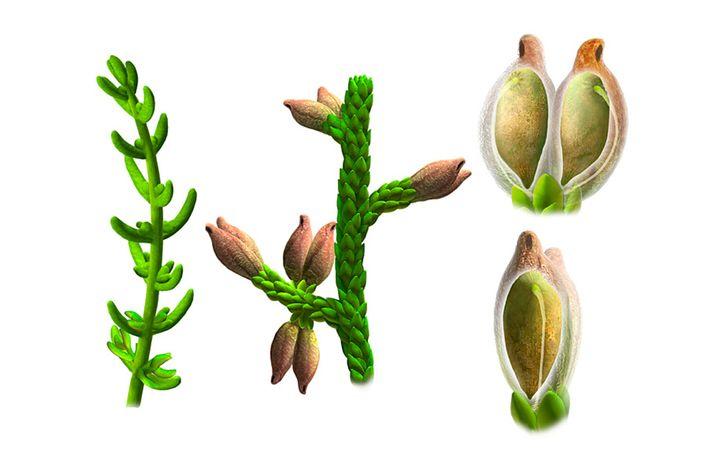 Besonderheiten der Pflanze: Samen sind von Frucht umschlossen