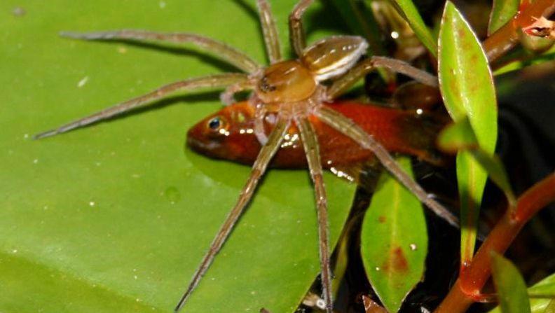 Fette Beute: Eine Spinne der Art Dolomedes facetus hat in einem Gartenteich in Australien einen kleinen Zahnkarpfen gefangen